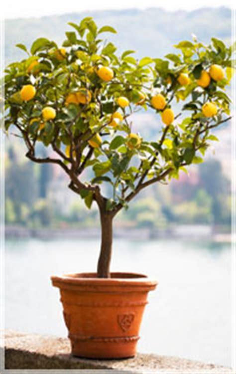 limone vaso limoni in vaso