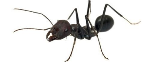 black ants in house black ants di sole pest control perth