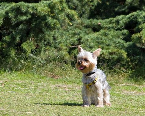 house a yorkie tips 3 tips to getting your yorkie to come when called iheartdogs