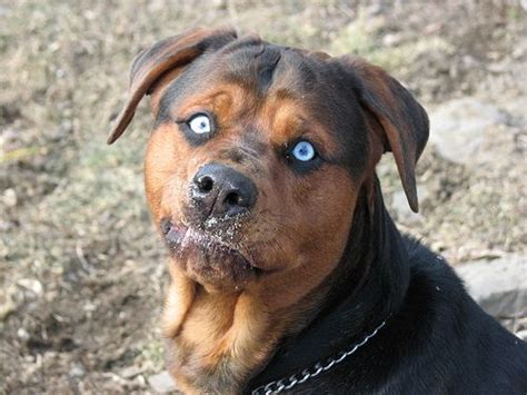 scary names for rottweilers im sorry its are creepy but its pitbull rottweiler german shepherd mix
