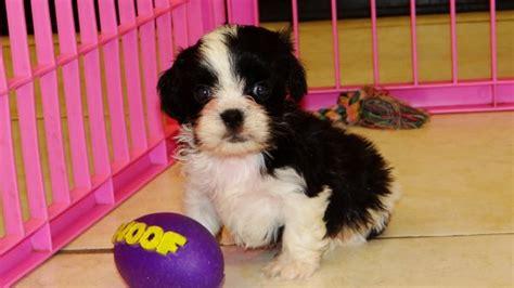 pomeranian puppies for sale in valdosta ga affectionate cavaton puppies for sale in atlanta ga at atlanta columbus