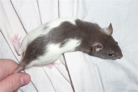 rat colors colours baby pet rats for sale geelong