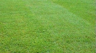 creeping red fescue mckays grass seeds