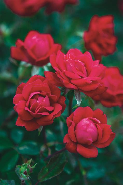 knockout colors growing knock out roses hgtv