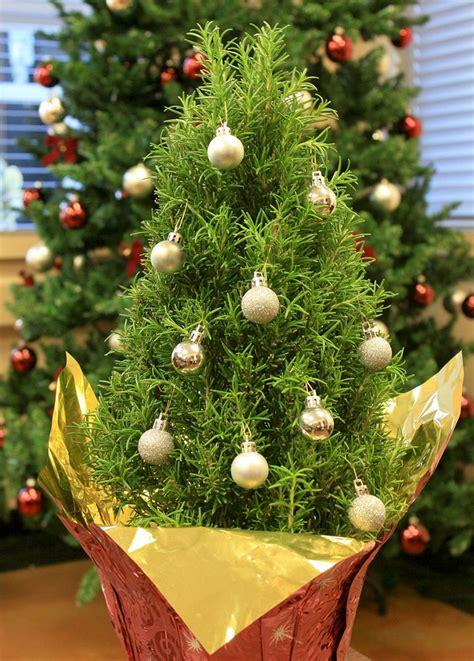 albero in vaso albero di natale in vaso come sceglierlo e come curarlo