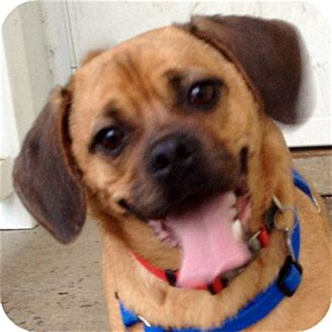 pug beagle mix for adoption max adopted 15673d ithaca ny pug beagle mix