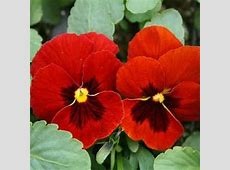Best 25+ Pansy flower ideas on Pinterest   Pansies ... Johnny Jump Up Flower Tattoo