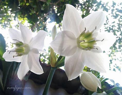 imagenes flores lirios flores del lirio o lilium