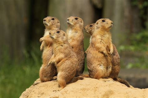 prairie dogs animals to humans be already vox