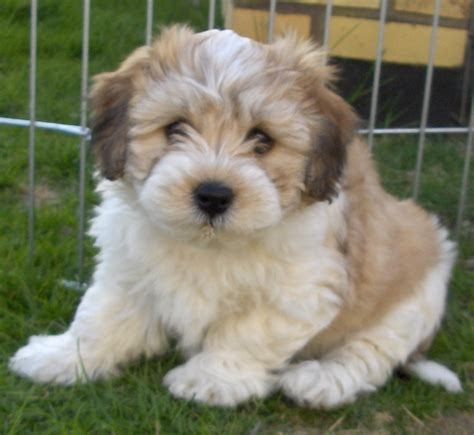 havanese breed of havanese breed photo breeds picture