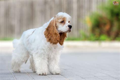 American Cocker Spaniel Dog Breed Information, Buying ...