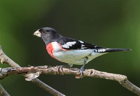 garden birds rose breasted grosbeak roads end naturalist