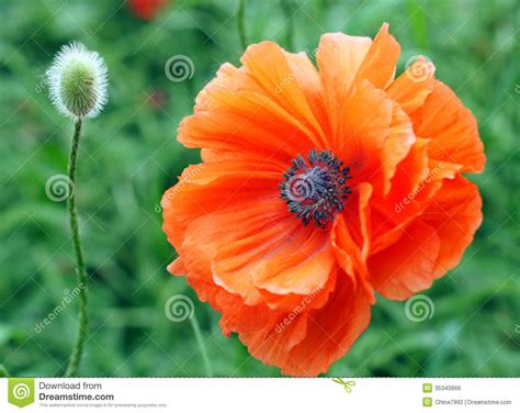 poppy and bud royalty free stock image image 35340666