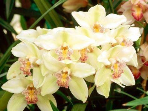 orchidee fiori appassiti fiori orchidea fiori delle piante