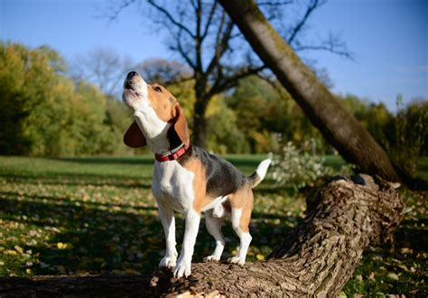 beagle puppy barking beagle barking alegri free photos