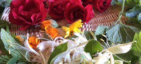 come preparare i fiori di bach foglie di alchemilla marucci