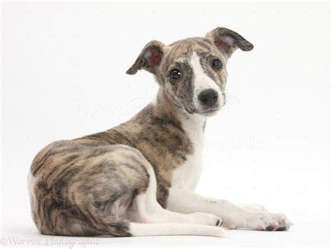 Dog: Brindle-and-white Whippet pup photo - WP27172