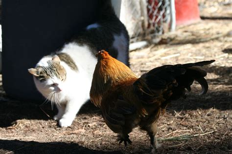 Backyard Chickens And Cats Cats And Chickens Backyard Chickens