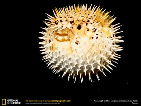 puffer fish puffer fish pictures for your project on animal picture society