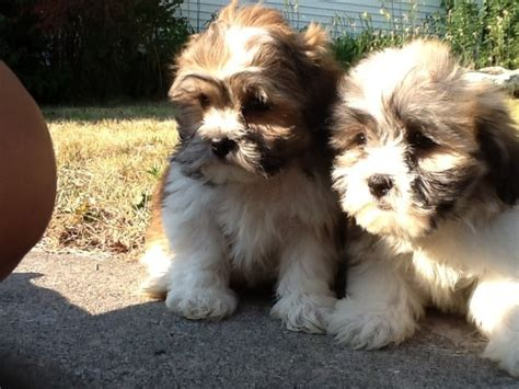 teddy shih tzu bichon shih tzu teddy puppies dogs puppies