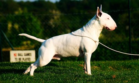 imagenes bull terrier ingles bull terrier ingl 201 s caracter 237 sticas qu 233 come d 243 nde vive