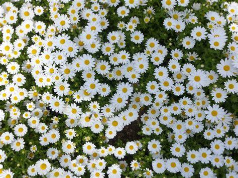 imagenes de flores margaritas flores wallpapers margaritas violetas car interior design