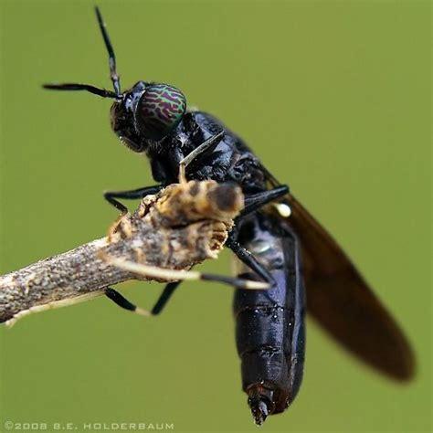 black soldier fly hermetia illucens male black