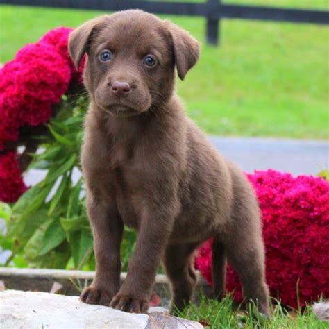labrador retriever mix puppies labrador mix puppies for sale greenfield puppies