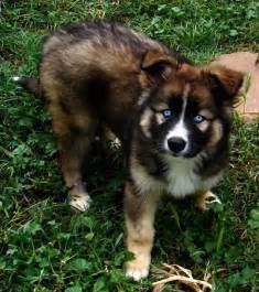 3 month old mini australian shepherd husky german shepherd mix puppies www imgarcade com