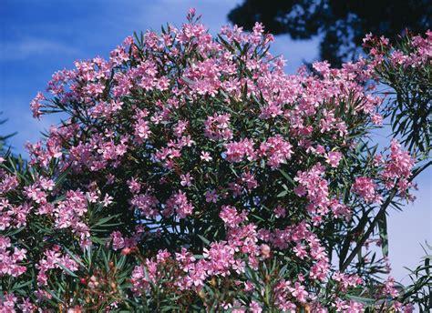 gestellung außerhalb des amtsplatzes oleander im garten pflanzen 28 images ist der oleander