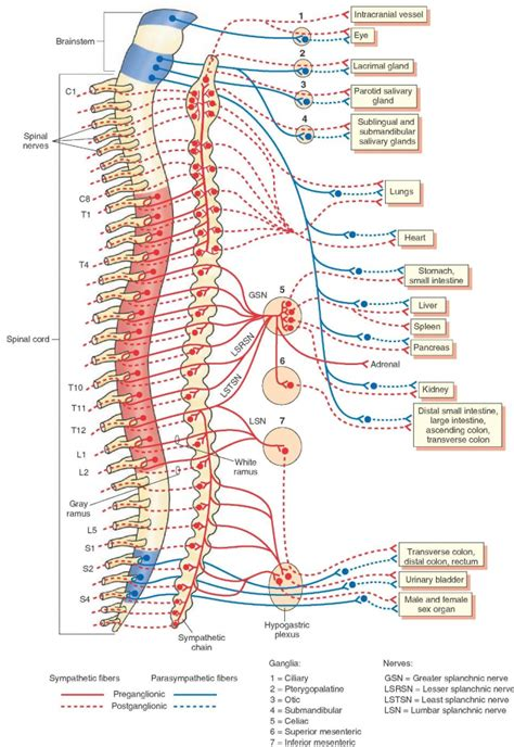 nerves of the human diagram spine nerve anatomy human anatomy diagram