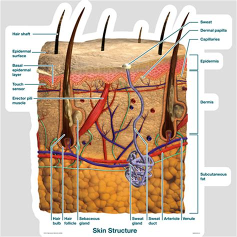 skin cross section diagram skin cross section labeled bodypartchart official site