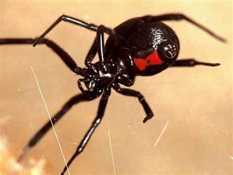 imagenes viudas negras ranking de las ara 241 as mas venenosas del mundo listas en