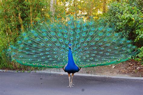 peacock wallpapers wallpaperswide9 blogspot com free hd desktop wallpapers