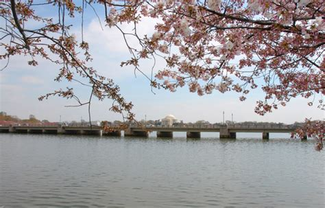 cherry blossom festival dc ultimate guide to the national cherry blossom festival