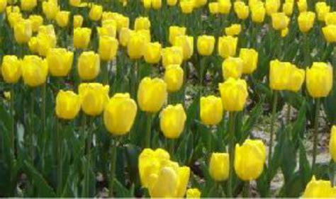 Tulip Flower Garden In India Asia S Largest Tulip Garden Tulip Flower Garden In India