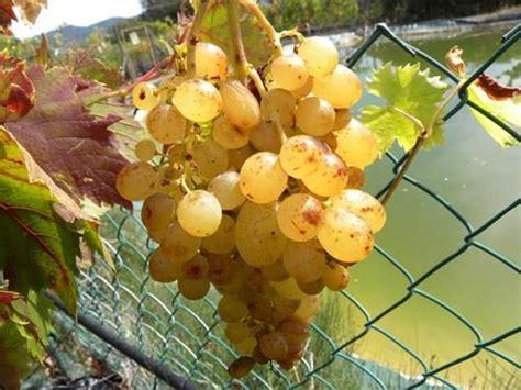 vivai uva da tavola pianta di uva da tavola archivi il sorbo vivai di