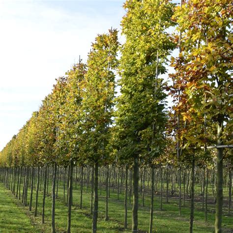English Home Decorating by Pleached Beech Trees Tree Screens Fagus Sylatica