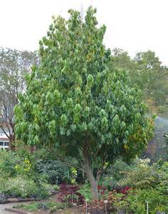 State Of California Flower - ufei selectree a tree selection guide