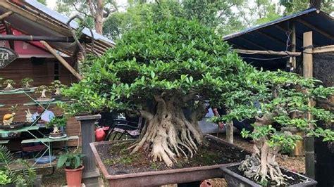 harga bonsai  setara ferrari sampai porsche