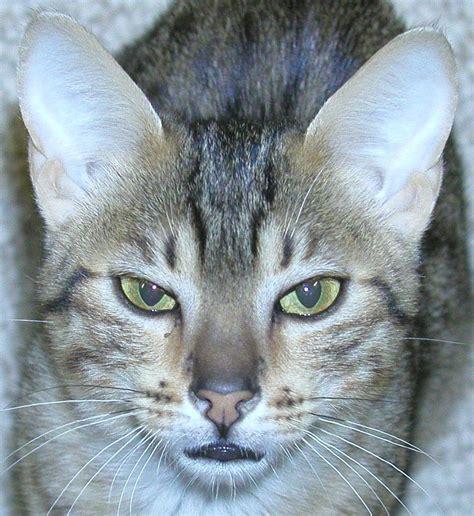 grey norwegian forest cat desktop backgrounds