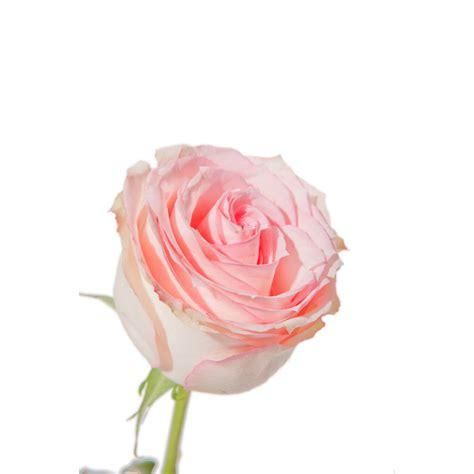 Light Pink Roshes light orlando light pink roses flower muse