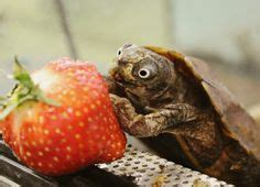 can pugs eat strawberries 1000 images about turtle me this on turtle turtles and happy turtle