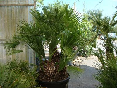 Chamaerops Excelsa Taille Adulte by Palmiers
