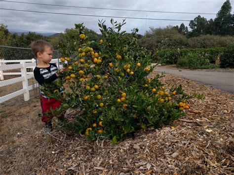 kishu mandarin tree  greg alders yard posts food