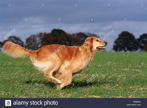 golden retriever running rennender golden retriever running golden retriever stock photo picture and royalty