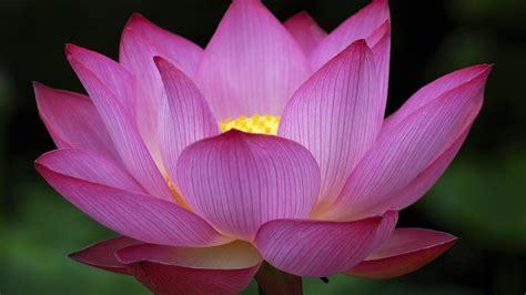 wallpaper kamal flower pink lotus flowers hd wallpaper 8576 wallpapers13 com