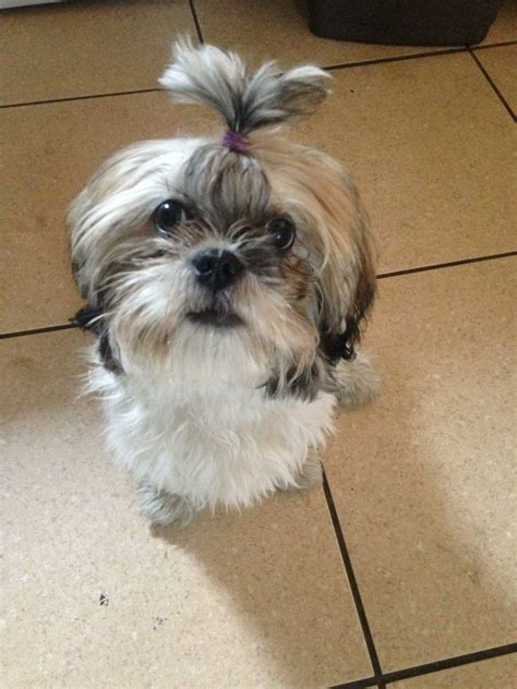 adopt a shih tzu wanted shih tzu for adoption bolton greater manchester pets4homes
