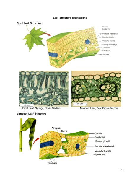 hca taleo net career section cross section of dicot leaf sectional ideas