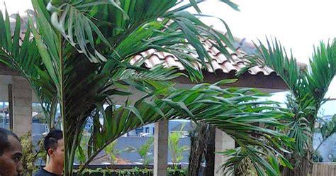 Biji Benih Tanaman Hias Pohon Palem Putri jual pohon palem putri veitchia merillii tanaman dalam ruangan indoor jual tanaman hias